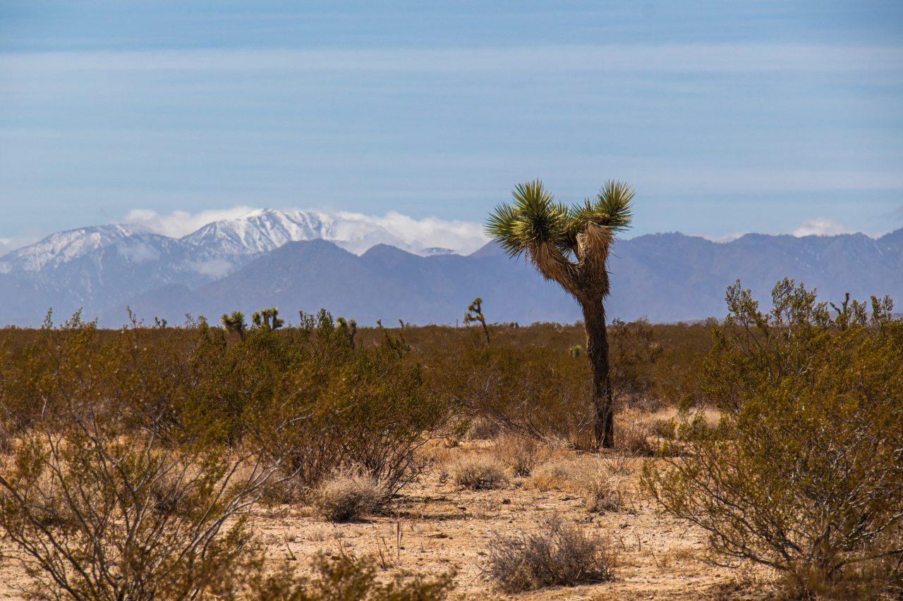 Joshua Tree Between Dry Desert Bushes