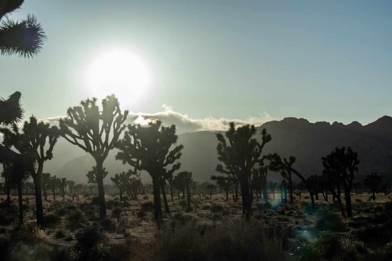 Sun Shining Beyond Joshua Trees