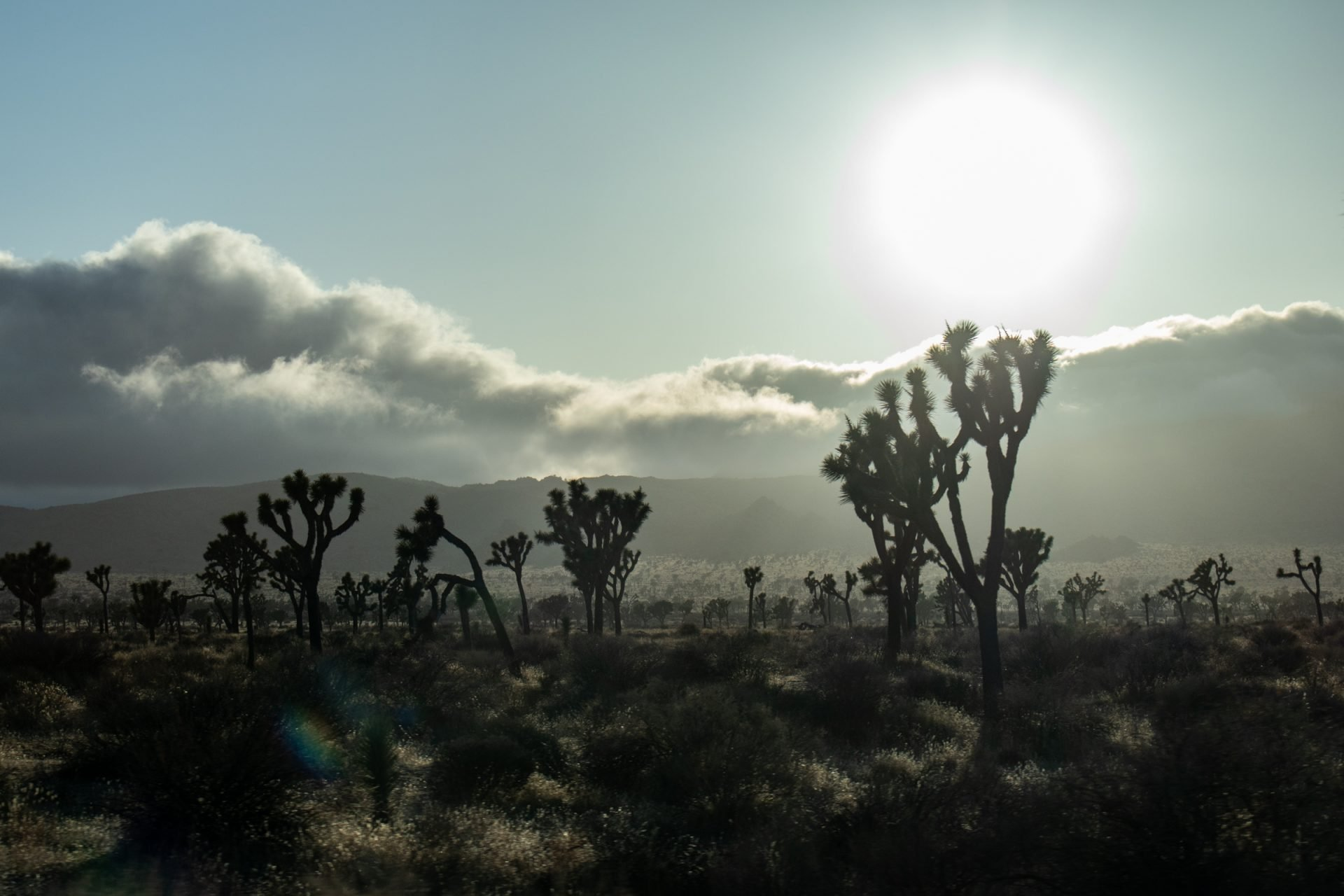 Sun And Clouds Beyond Open Area Of Joshua Trees