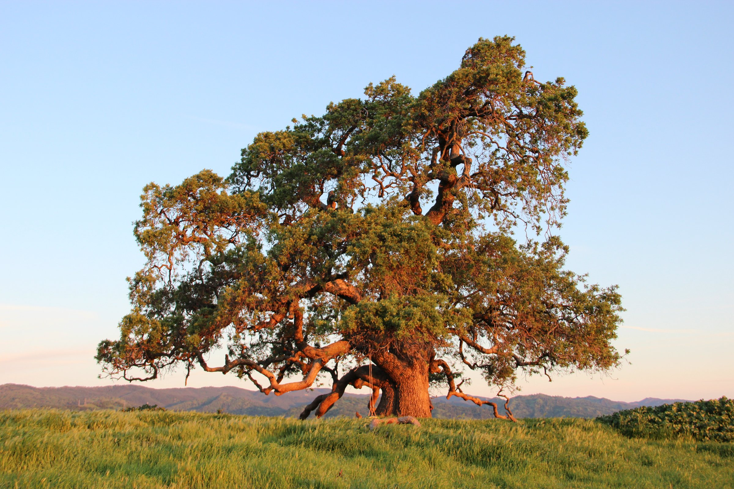 Large Oak Tree in Field of Grass