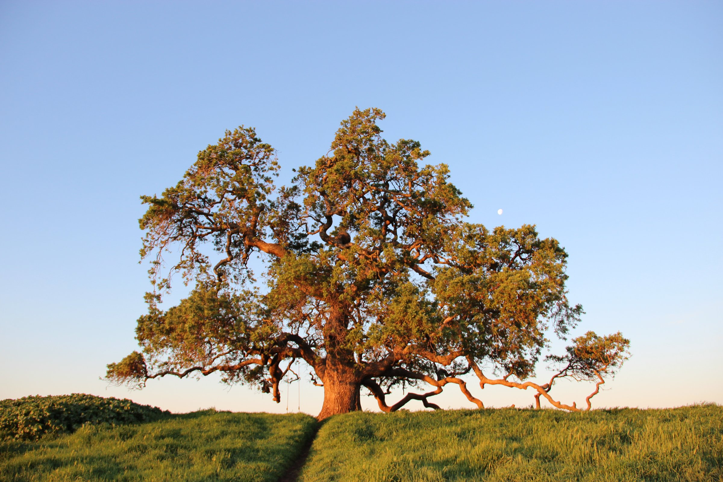 Large Oak Tree on Field of Grass