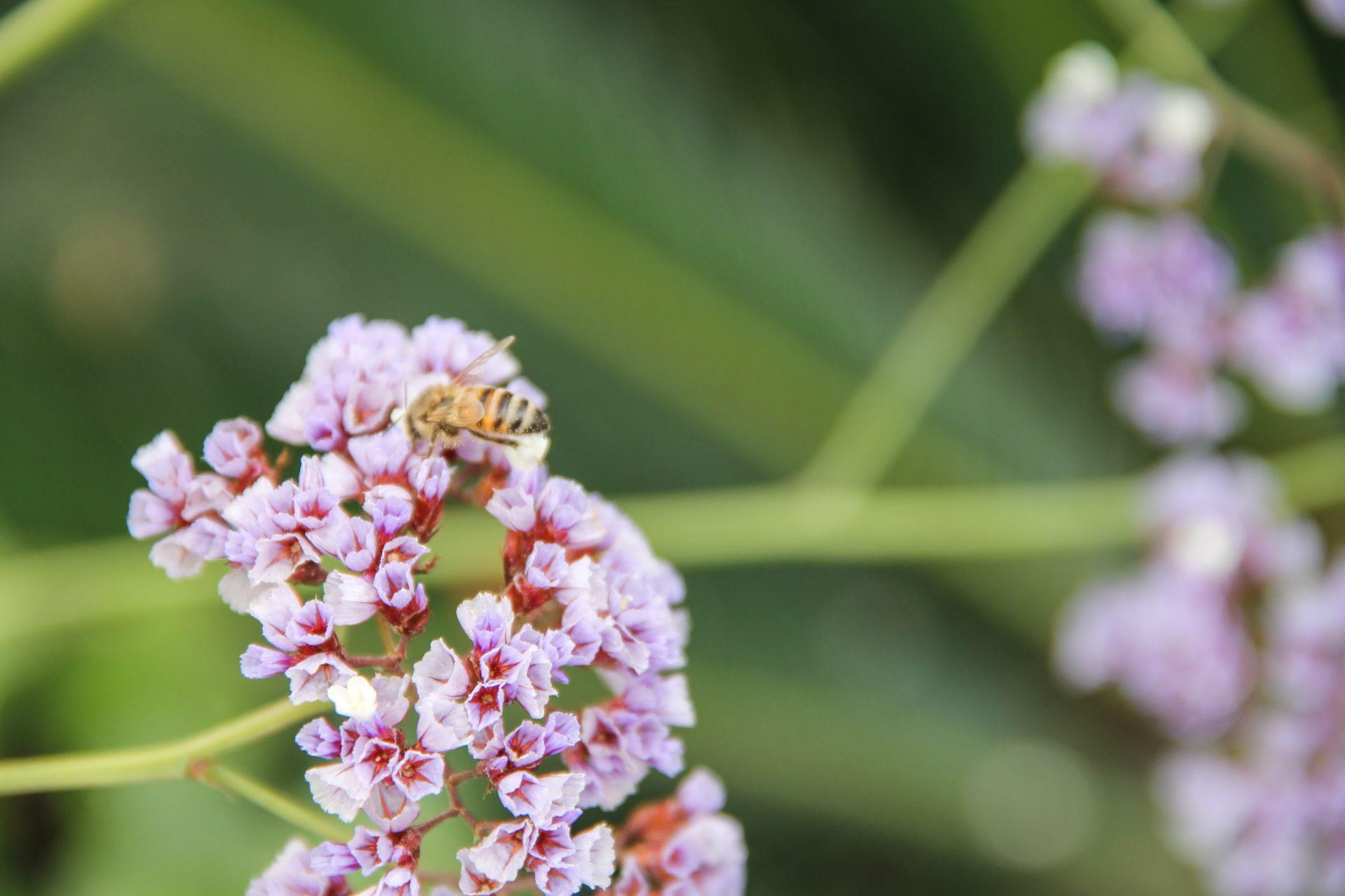 Bee on Sea Lavender Flowers