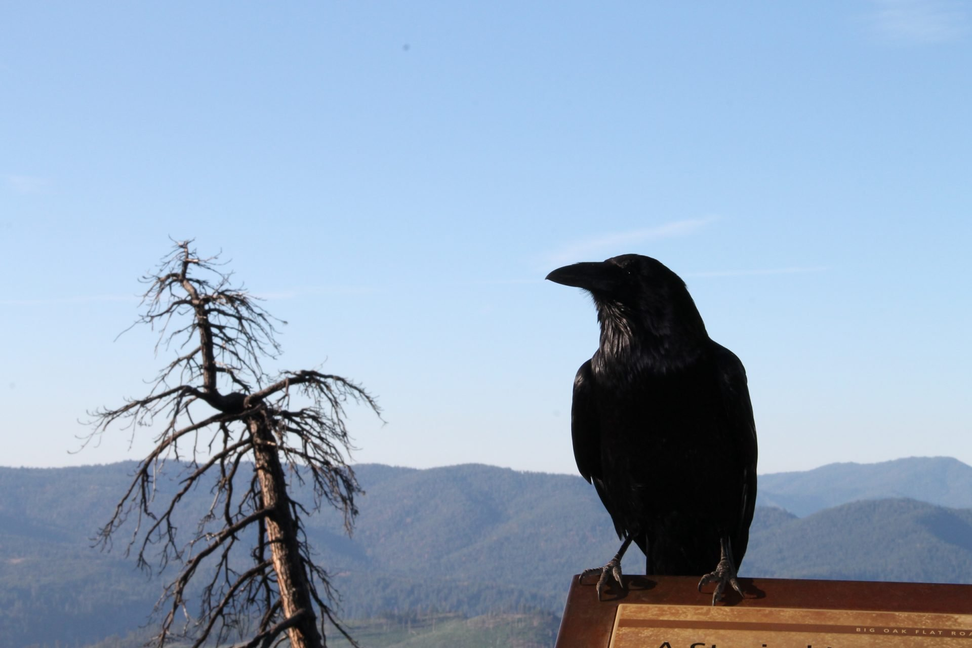 Black Crow Perched Next to Dead Tree