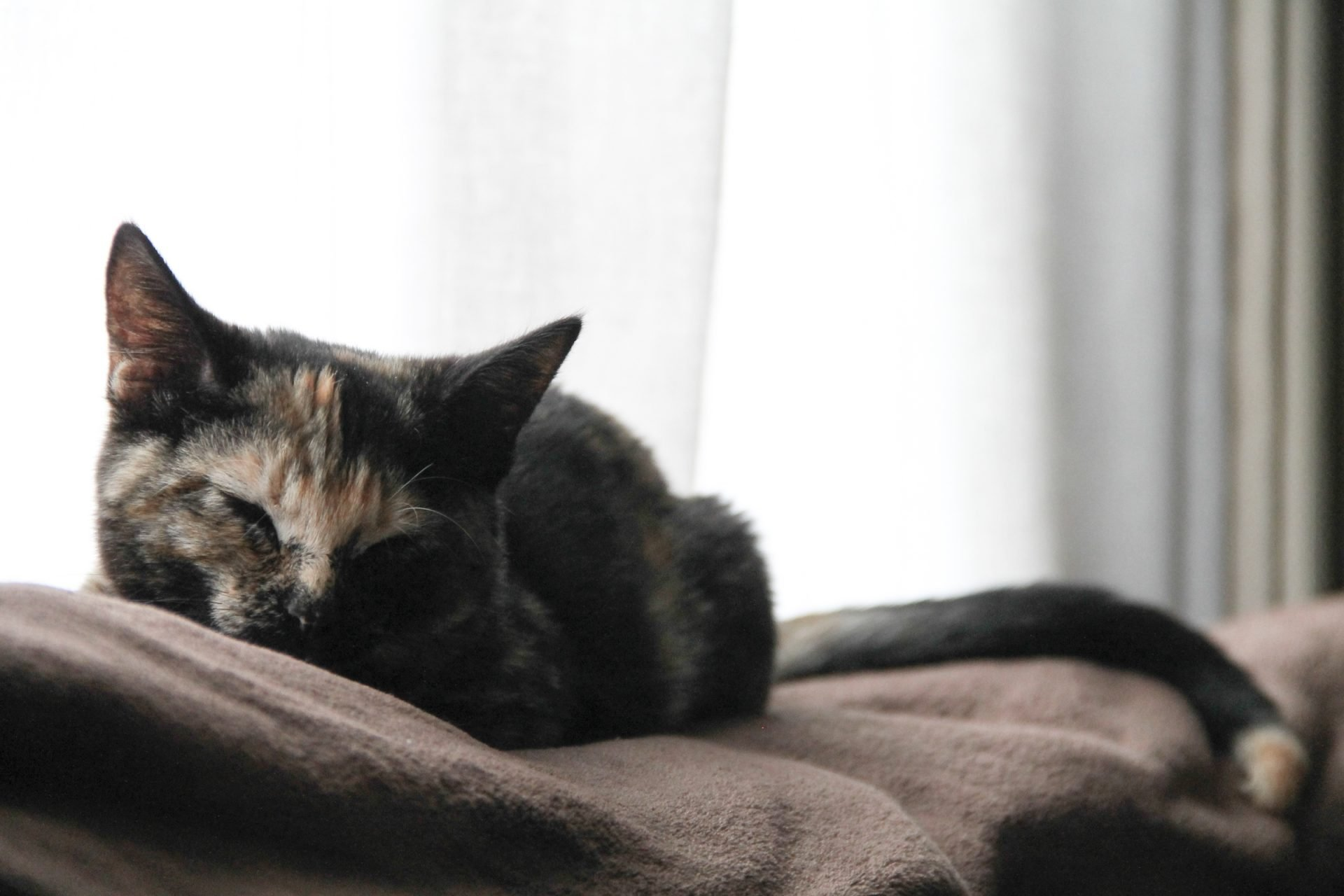 Cat Napping by Window Curtains