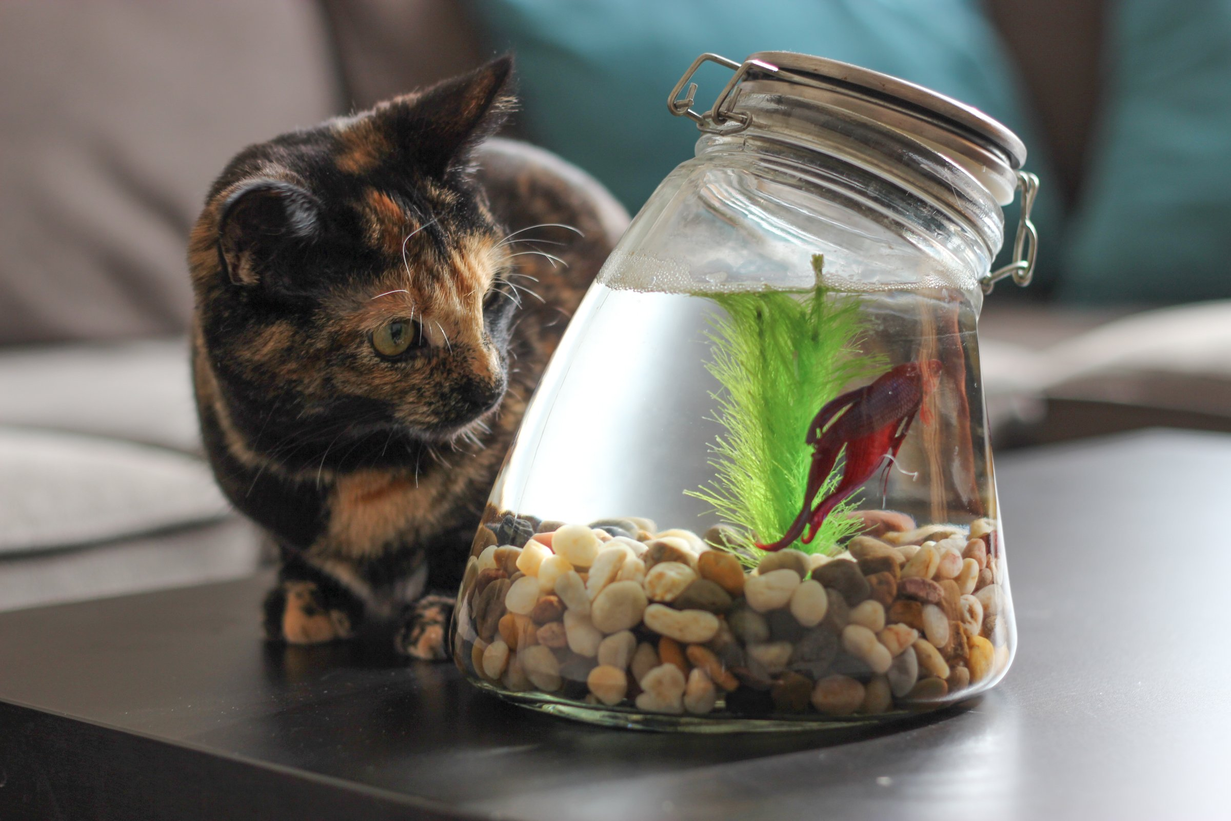 Free stock photo of cat watching fish in jar for Fish in a jar