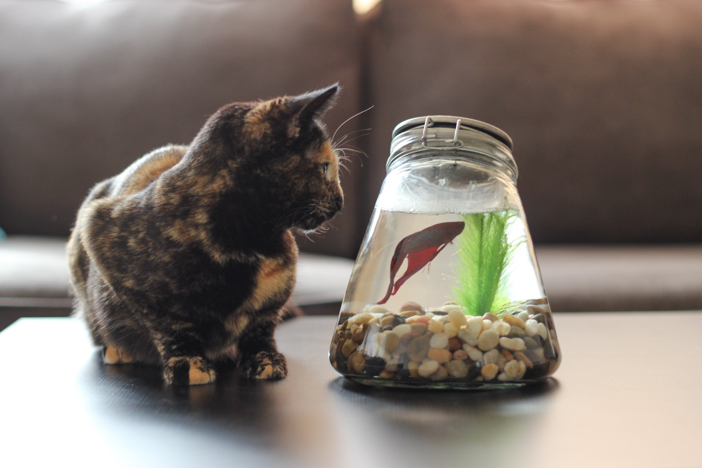 Free stock photo of cat looking at betta fish in bowl for Beta fish bowl