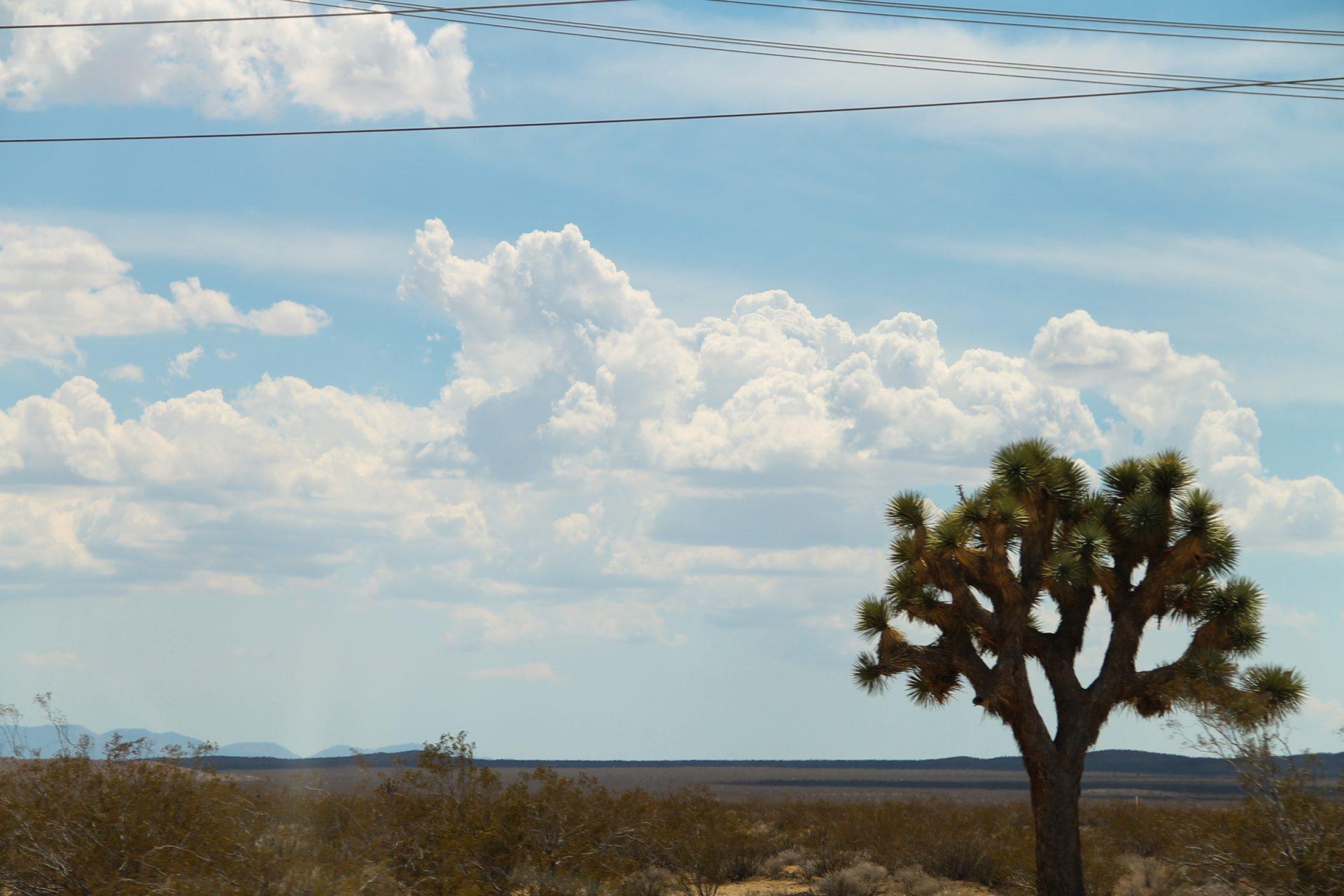 Joshua Tree in the Desert