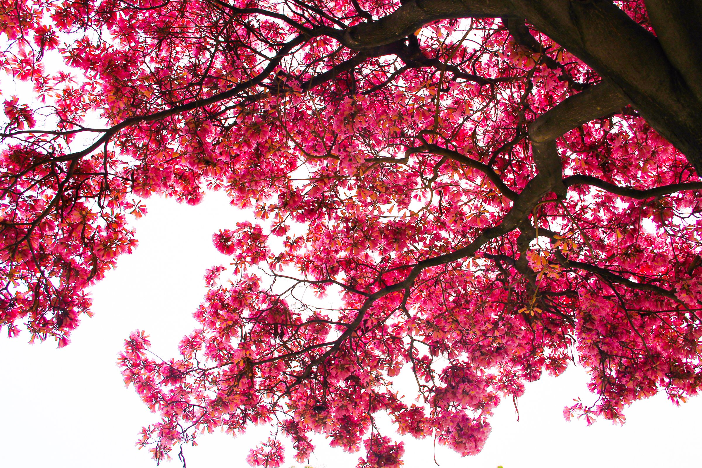 free stock photo of looking up at cherry blossom tree branches