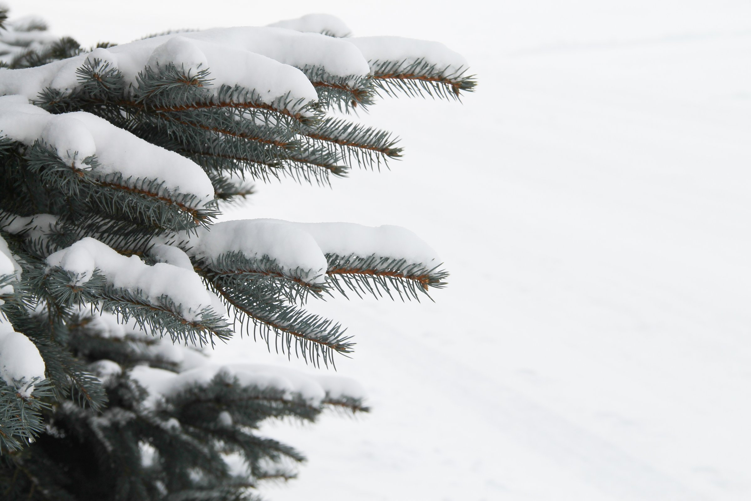 Free stock photo of new snow on pine tree branches - Images of pine trees in snow ...