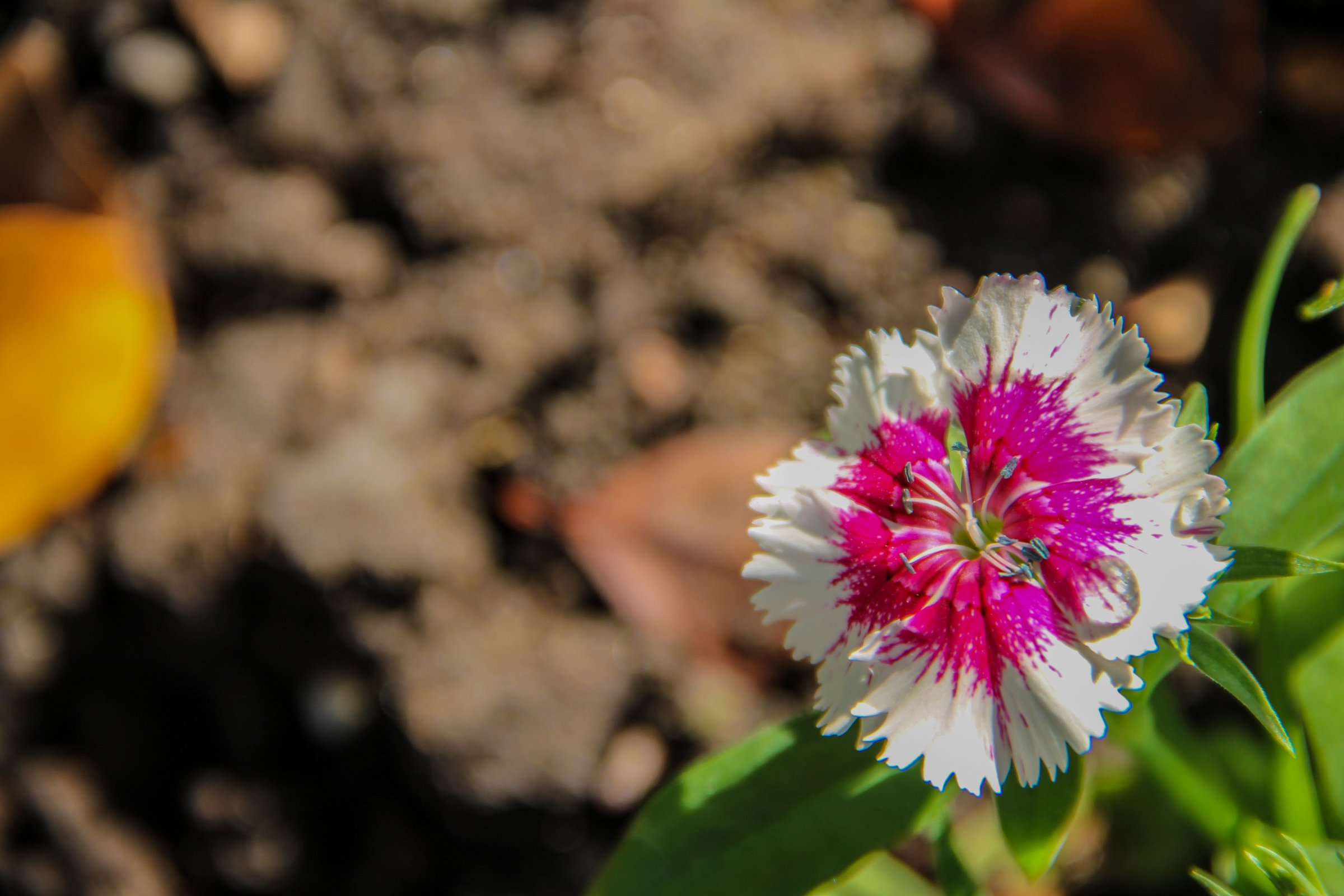 Pink & White Dianthus Flower Over Dirt