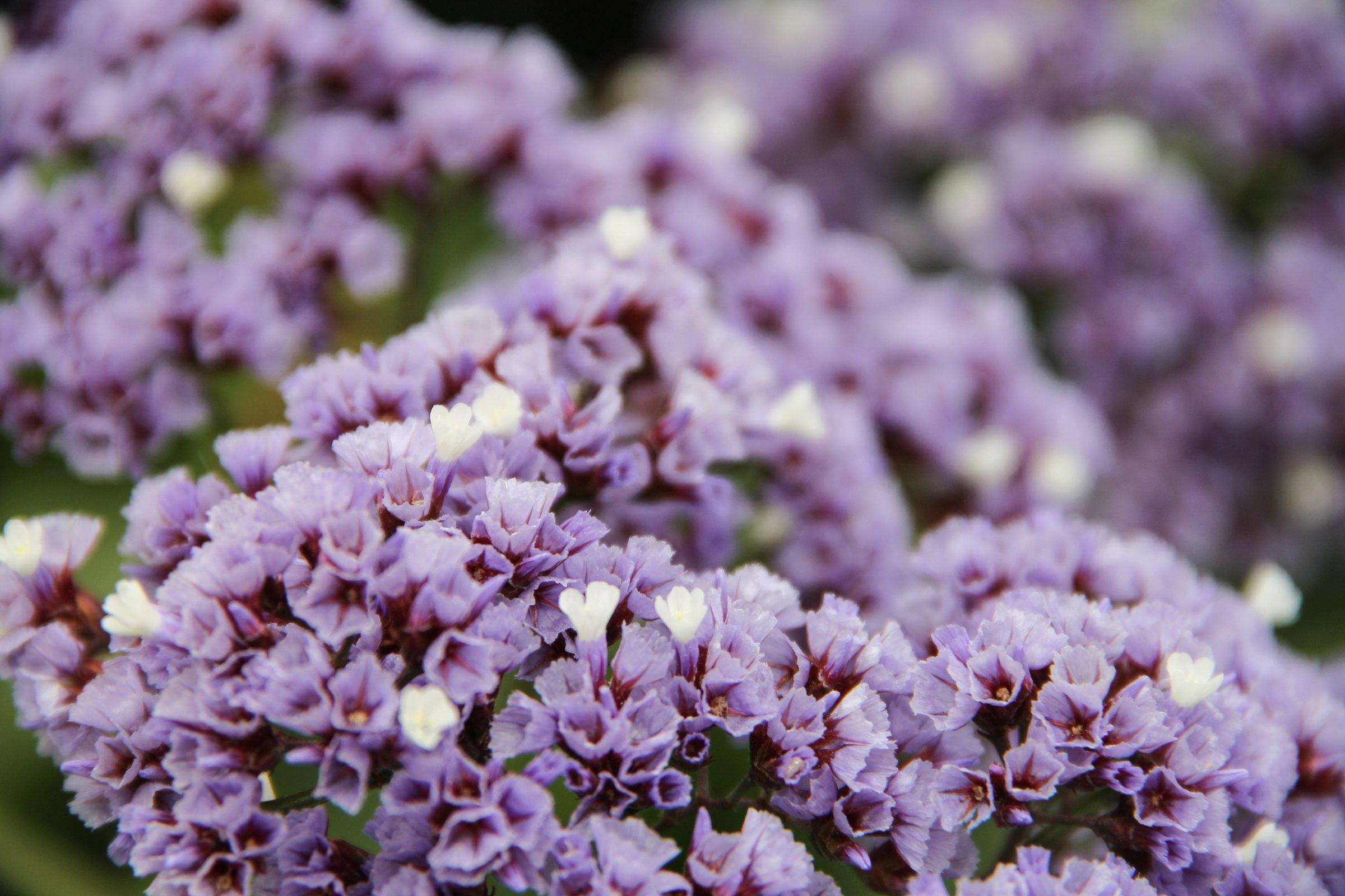 Purple & White Limonium Flowers
