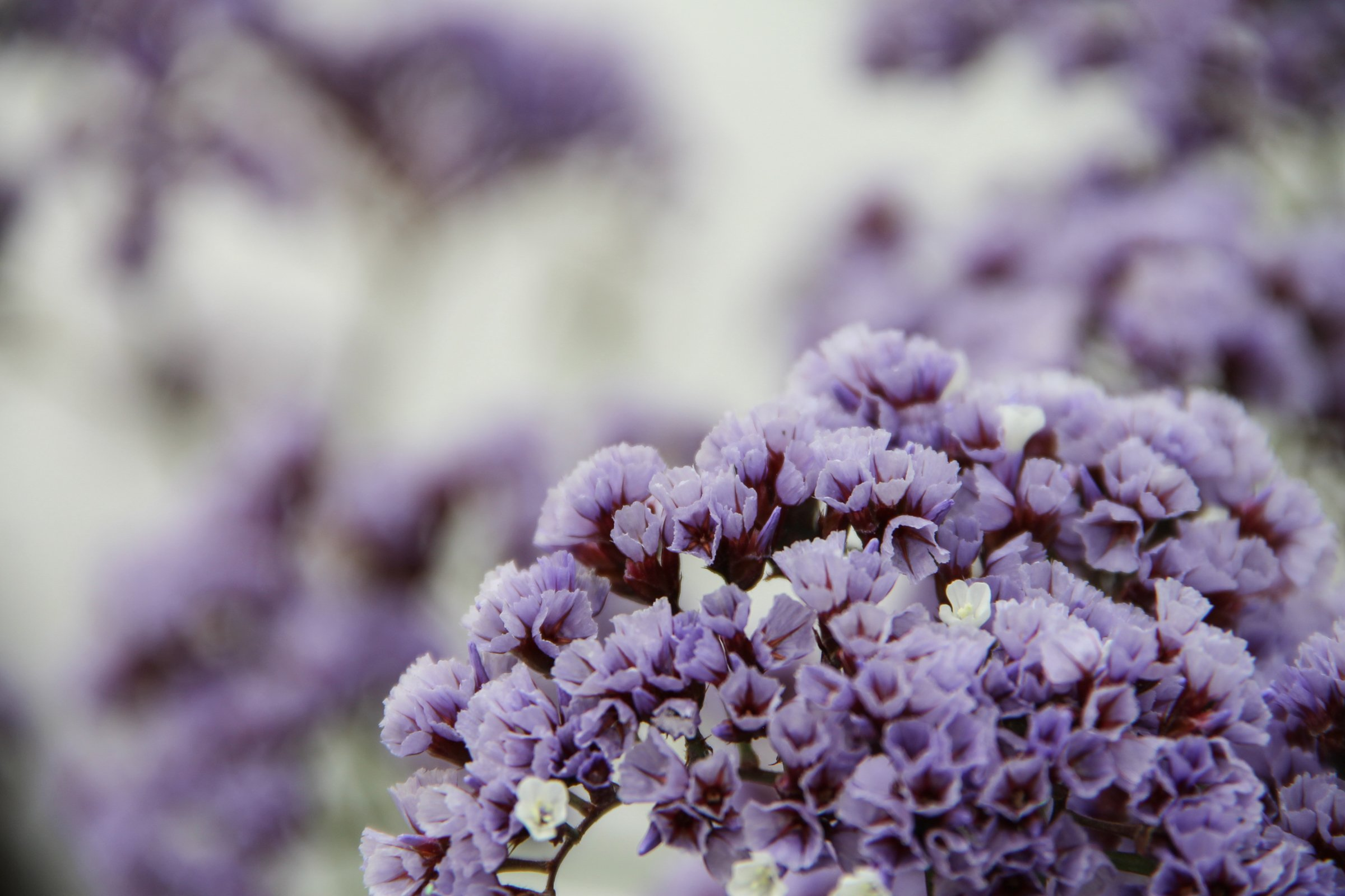Free stock photo of purple white statice flowers purple white statice flowers mightylinksfo