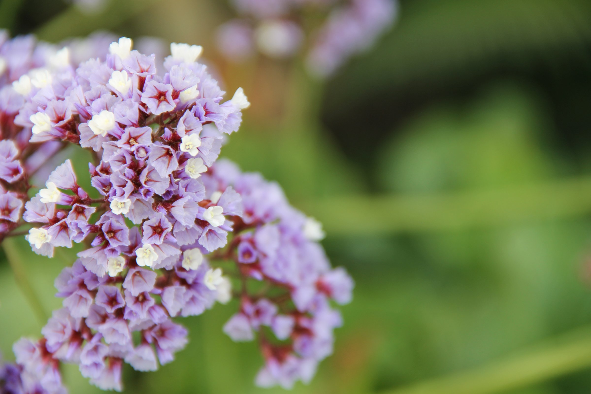 Free Stock Photo Of Purple White Sea Lavender Flowers