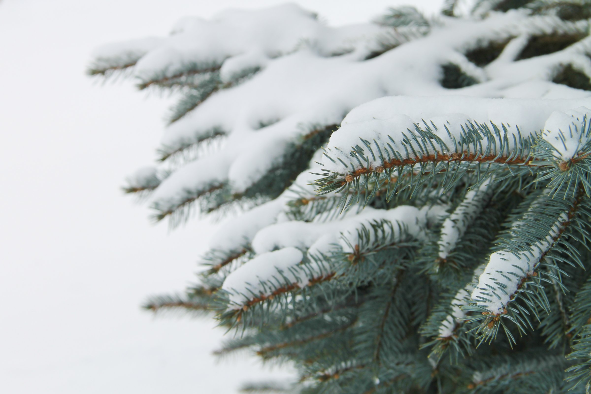 free stock photo of snow on pine tree branches