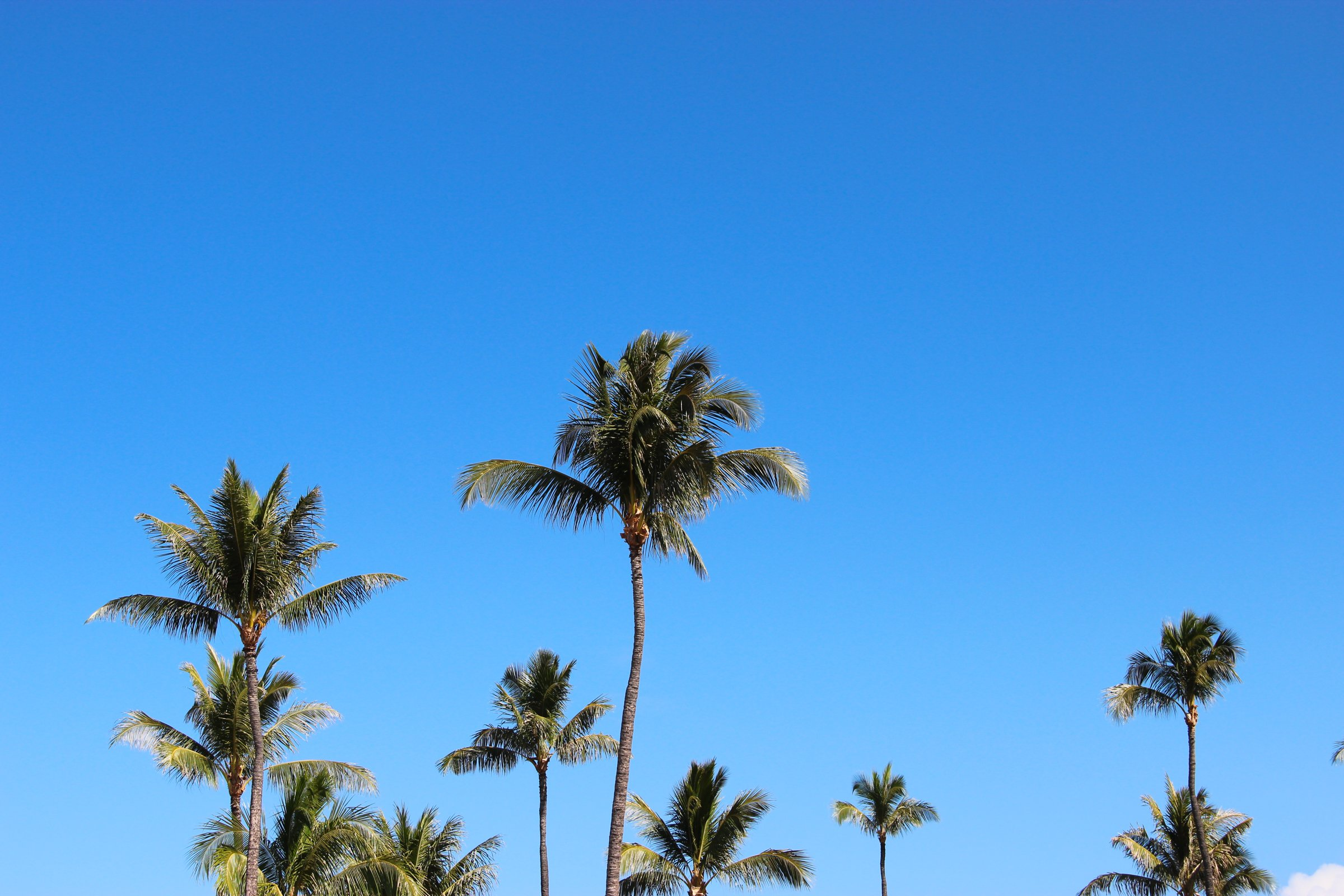 free stock photo of tops of palm trees on clear blue sky