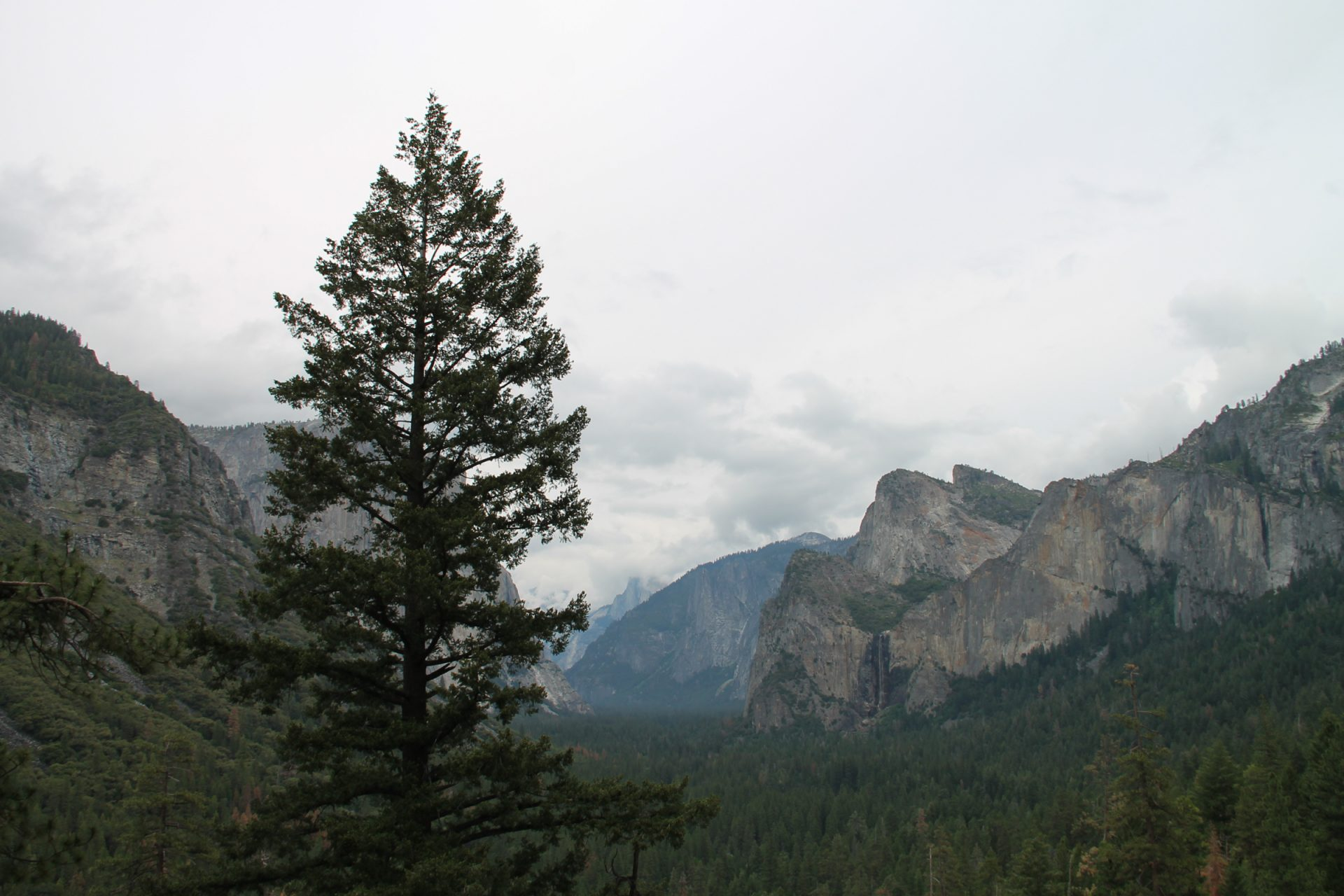 Tree in Front of Valley in Yosemite